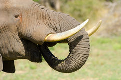 African Elephant. Kruger National Park, South Afri Royalty Free Stock Images
