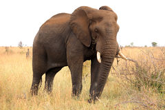 African elephant. Kruger National Park. South Africa. Safari. Royalty Free Stock Photography