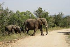 African Elephant Kruger National Park. Three African Elephant Kruger National Park Stock Image