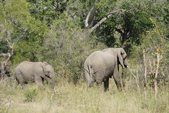 African Elephant Kruger National Park. Two African Elephant Kruger National Park Royalty Free Stock Photos