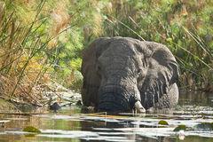 African Elephant in lagoon. African Elephant (Loxodonta Africana) is enormous and unmistakable as the largest land animal on earth.  Adults have a life Royalty Free Stock Photography