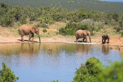 African Elephant by lake. Herd of African Elephant by watering hole in Savannah Royalty Free Stock Photos