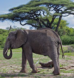 African Elephant in Lake Manyara, Tanzania Stock Photo