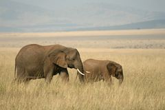 African elephant landscape Stock Images