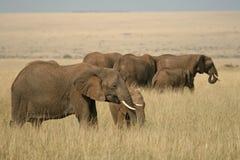 African elephant landscape Royalty Free Stock Image