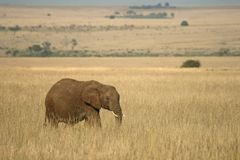African elephant landscape Royalty Free Stock Photography