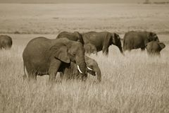 African elephant landscape Royalty Free Stock Photos