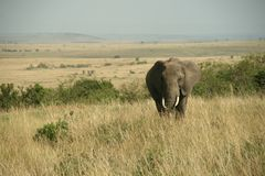 African elephant landscape Royalty Free Stock Photo
