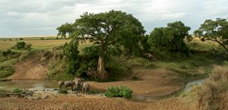 African elephant landscape Royalty Free Stock Images