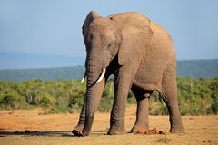 African elephant Royalty Free Stock Images