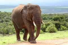 African Elephant royalty free stock photo