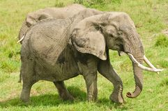 African Elephant with large tusks Royalty Free Stock Photography