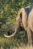 African elephant with large tusks grazing. An african elephant with large tusks grazing in grass stock photo