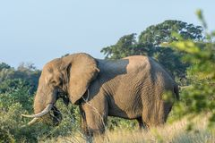 African elephant with large tusks. An african elephant with large tusks grazing in grass stock photo