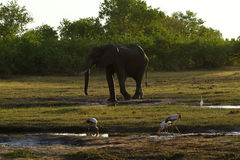 African Elephant & Large Wader Birds Royalty Free Stock Images