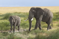 African Elephant stock photo