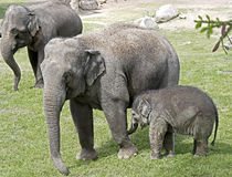 African elephant 7 Stock Photo