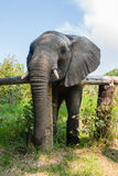 African elephant leans on a fence in a game reserve in South Stock Images