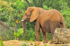African Elephant In Light Rain Royalty Free Stock Images