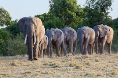 African Elephant Line-up Walking To Water. A line of Savanna, or Bush, African Elephants, led by the Matriarch, walking in a line towards a dried-up river bed Stock Photography