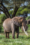 African elephant with long tusks. Kenya, Africa Stock Images