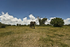 African Elephant (Loxidonta africana). In the wild royalty free stock image