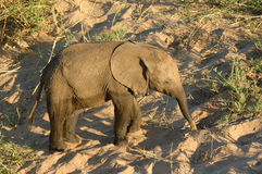 African Elephant (Loxodonta) Royalty Free Stock Photos