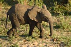 African Elephant (Loxodonta) Royalty Free Stock Image