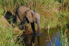 African Elephant (Loxodonta) Royalty Free Stock Photography