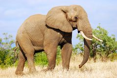African Elephant (Loxodonta africana). The African Elephant (Loxodanta africana) is the largest living land-dwelling animal. Normally reaching 6 to 7 meters in stock images