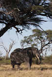 African Elephant (Loxodonta africana). An African Elephant (Loxodonta africana) in the shade of a Camel Thorn Tree (Acacia erioloba) in the Savuti region of stock photo