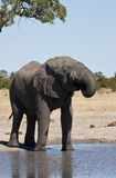 African Elephant (Loxodonta africana). An African Elephant (Loxodonta africana) drinking at a waterhole in the Savuti region of northern Botswana royalty free stock photo