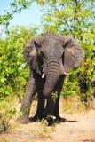 African Elephant (Loxodonta africana) Stock Images