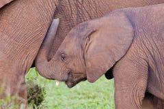 African elephant (loxodonta africana) Royalty Free Stock Photography