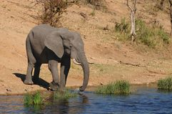 African Elephant (Loxodonta africana). Drinking at a water hole (South Africa royalty free stock image