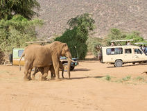 African elephant (Loxodonta africana) Royalty Free Stock Images