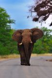 African Elephant (Loxodonta africana). Big African Elephant (Loxodonta Africana) walking on a road (South Africa royalty free stock image