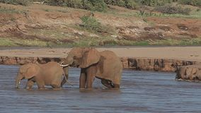 African Elephant, loxodonta africana, Adult and Calf crossing River, Spraying Water, Samburu Park in Kenya,. Real Time stock video