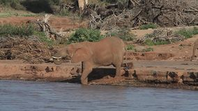 African Elephant, loxodonta africana, Adult and Calf drinking at River, Samburu Park in Kenya,. Real Time stock video footage