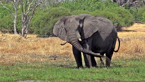 African Elephant, loxodonta africana, Adult spraying water and mud at Khwai River, Moremi Reserve, Okavango Delta in Botswana, stock footage