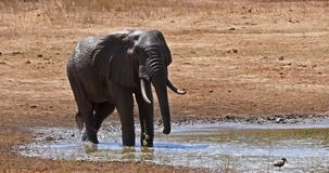 African Elephant, loxodonta africana, Adult standing at the Water Hole, Having Bath, Tsavo Park in Kenya, Real Time. 4K stock video footage