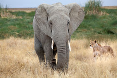 African elephant (Loxodonta africana) and african lioness (Panth. African elephant (Loxodonta africana) and african lioness in the african savanna (Panthera leo Royalty Free Stock Photo
