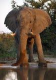 African Elephant (Loxodonta africana) - Botswana Royalty Free Stock Photos