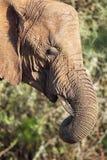 African Elephant (Loxodonta africana) Royalty Free Stock Image