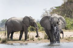 African Elephant Loxodonta africana drinking in small pond stock images