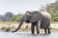 African Elephant Loxodonta africana drinking in small pond royalty free stock photos