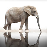 African elephant (Loxodonta africana). African elephant (Loxodonta africana) drinking on a white background stock photos