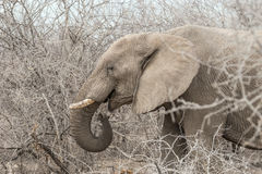African Elephant Loxodonta africana eating tree branches Royalty Free Stock Images