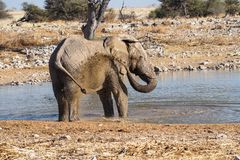 African elephant, Loxodonta africana in Etosha National Park, Namibia. African elephant, Loxodonta africana drinking water, Etosha National Park, Namibia stock photo