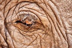African Elephant (Loxodonta africana). Eye of an African Elephant (Loxodonta africana Stock Photos